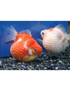 Goldfish Pearlscale 5.0-6.0 cm