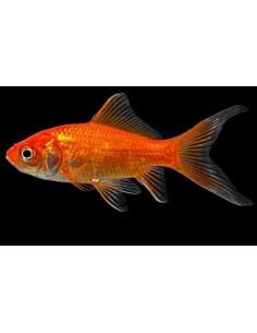 Goldfish Comet 4-7cm