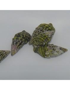 Cerithium  (Tehericium)...