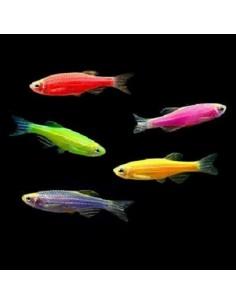 Zebra Danio Neon Colour