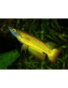 Aplocheilus Panchax Yellow