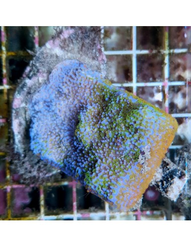 Montipora Danae Purple 1