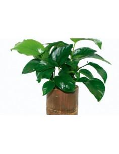 Bamboo pot S - Anubias Mix