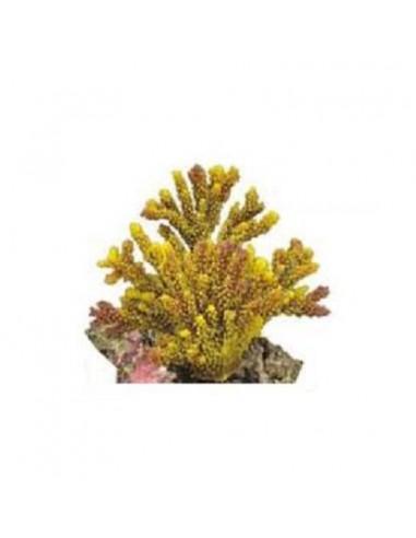 Διακοσμητικό Κοράλλι 13x8x11